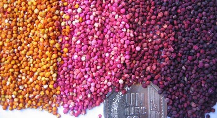Le quinoa for Plante quinoa
